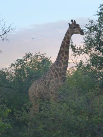 Makalali Private Game Lodge: Giraffe im Park