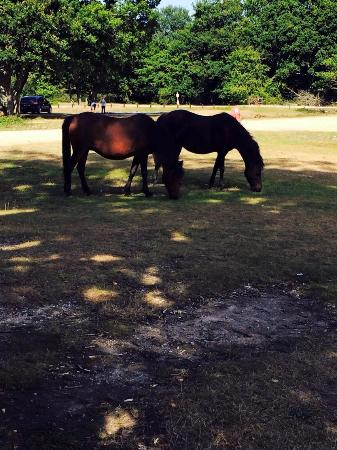 Ashurst Campsite: Beautiful New Forest horses.