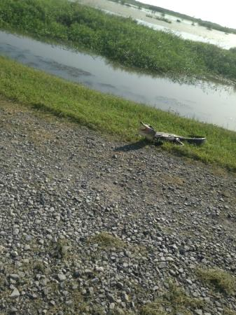 Cameron Prairie National Wildlife Refuge: Small alligator catching a few rays