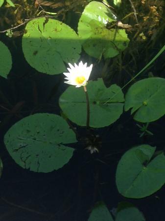Cameron Prairie National Wildlife Refuge: Blooming waterlily