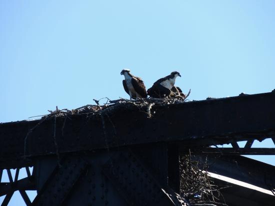 Lake Pend Oreille Cruises: Osprey nest on rail bridge