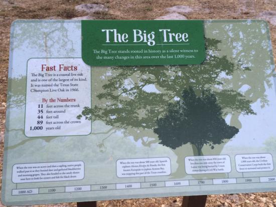 Rockport, TX: The Big Tree - Enough said!
