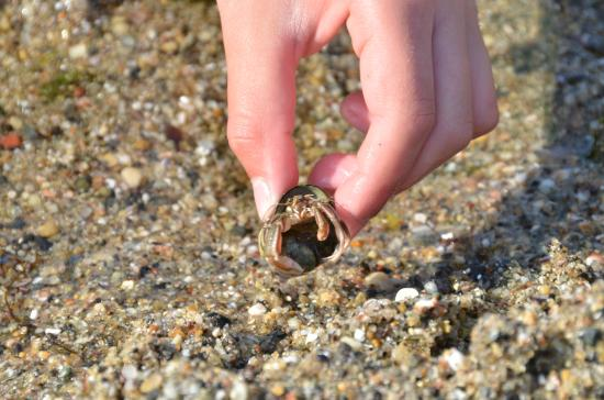Gray's Homestead Oceanfront Campground: Hermit crab