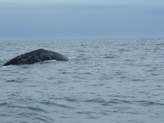 Depoe Bay, OR: Grey whale