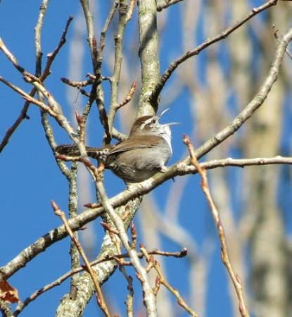 Nanaimo, Canadá: Bewicks' wren singing to attract a mate!