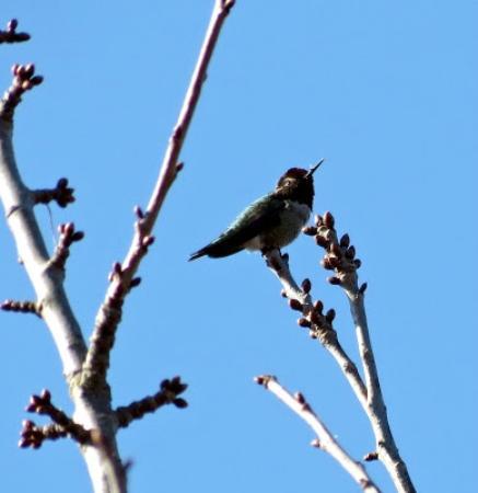 นาไนโม, แคนาดา: Anna's hummingbird