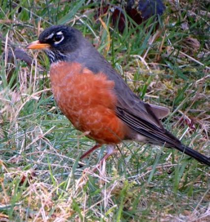 Нанаймо, Канада: Mr. Robin
