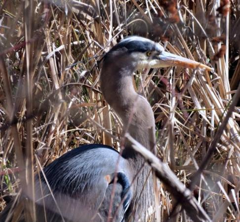 Nanaimo, Canada: Great Blue heron frequent this marsh.