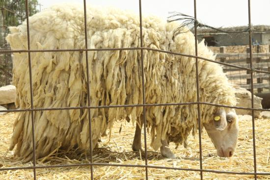 The Alpaca Farm : very hot looking sheep from australia