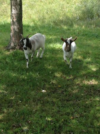 Deerwoode Lodge & Cabins : Enjoy feeding, petting and just watching the Lodge goats. They are so cute