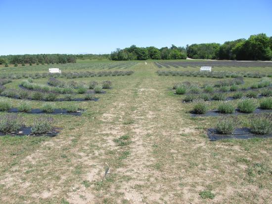 Fragrant Isle Lavender Farm & Shop: Lavender Fields