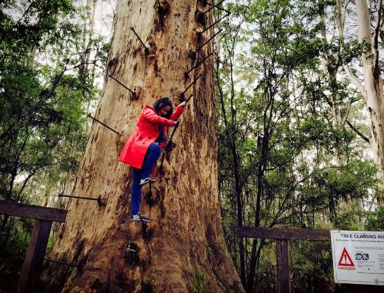 Gloucester Australia  city photos : Picture of Gloucester Tree, Pemberton TripAdvisor