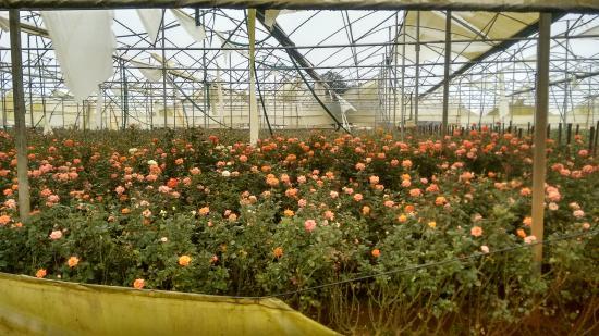 Pavana Lake: The Rose garden