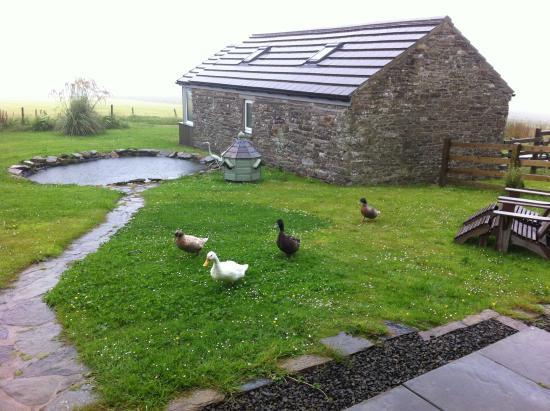 Deerness, UK: Amusing ducks
