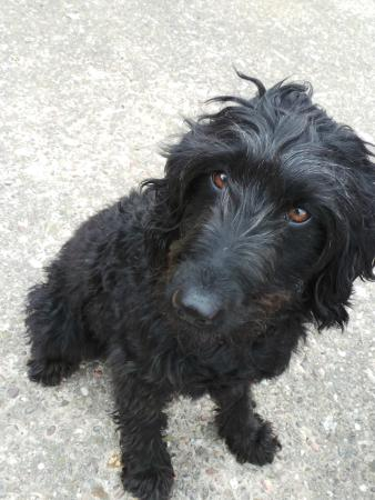 Highfields Farm Bed and Breakfast: Matty the Labradoodle