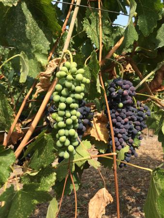 La Frenz Winery: Grapes on the vine