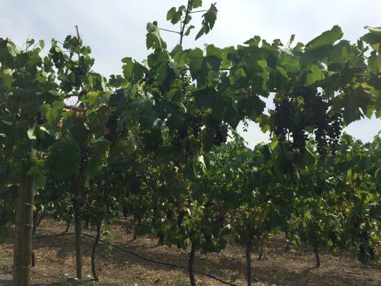 La Frenz Winery: Vines