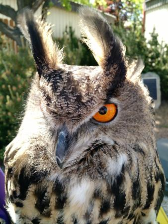 World Center For Birds of Prey: Wally - Eurasian Eagle Owl