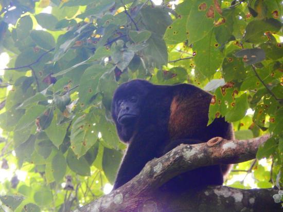 Churute Mangroves Ecological Reserve: mono aullador