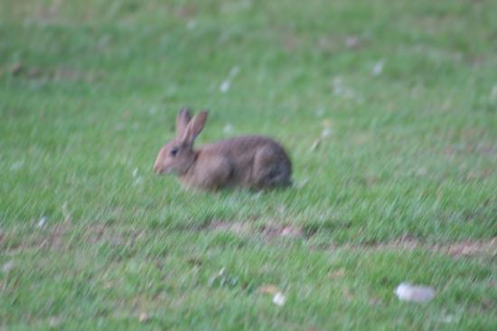 Dragonfly Hotel King's Lynn: lots of rabbits all round the grounds