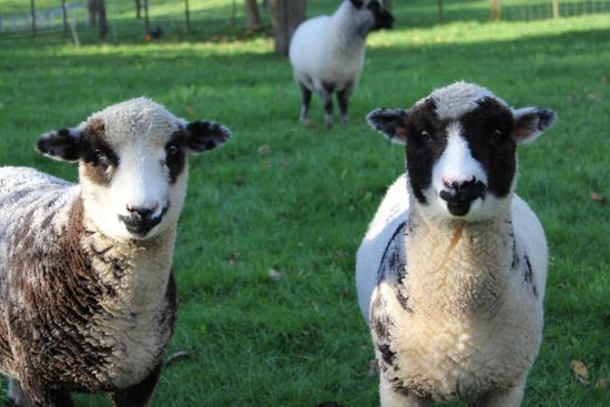 Corbett House: Sheep in our paddocks