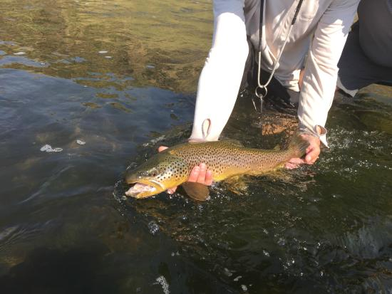 Gallatin River Lodge: two foot long brown trout