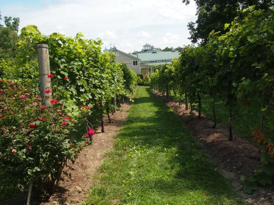 Vines where you park Picture of Farmhouse at Veritas Winery Afton TripA