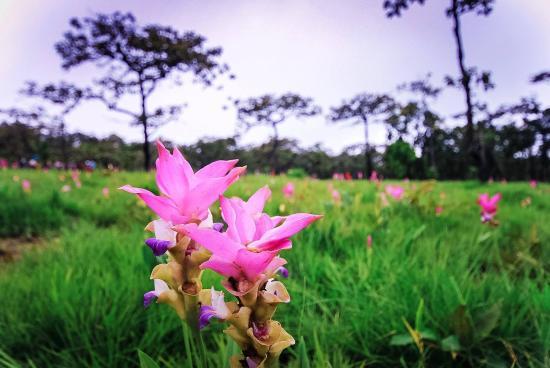 Chaiyaphum, Thailand: ดอกกระเจียวสวยๆ
