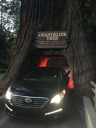 Leggett, CA: The Chandelier Tree