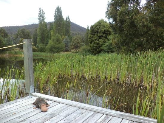 Hamlet Downs Country Accommodation : Platypus spotted