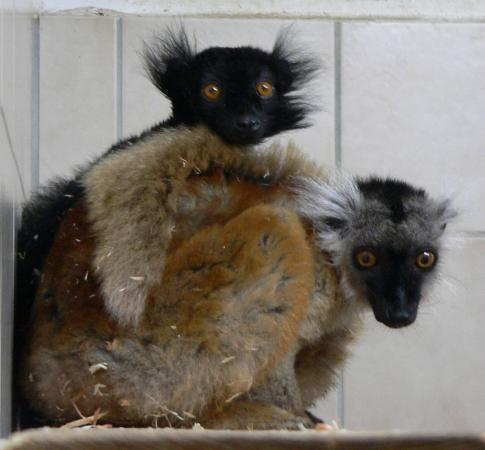 Penkridge, UK: Black Lemurs