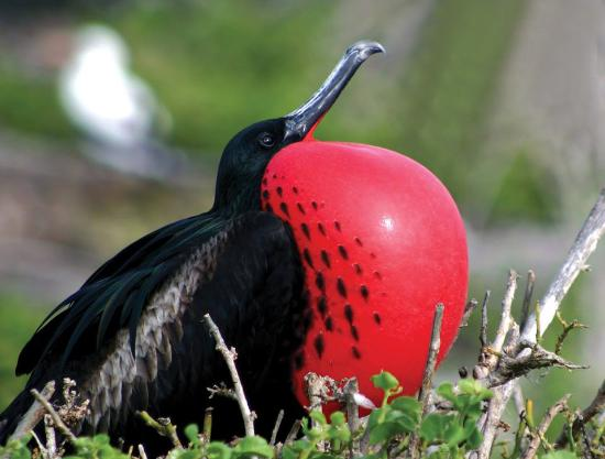 Antigua and Barbuda: The Frigate Bird