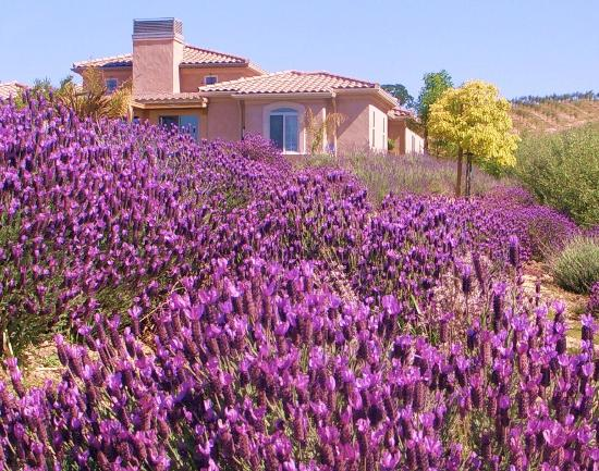 Desperado Inn: lavender in boom