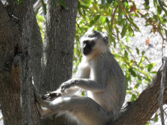 Makalali Private Game Lodge: scimmia