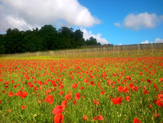 "Saint-Pierre-sur-Dives, France : ""Jolis coquelicots"""