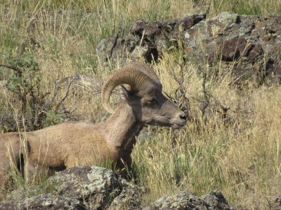 Yellowstone Village Inn: Bighorn near the hotel