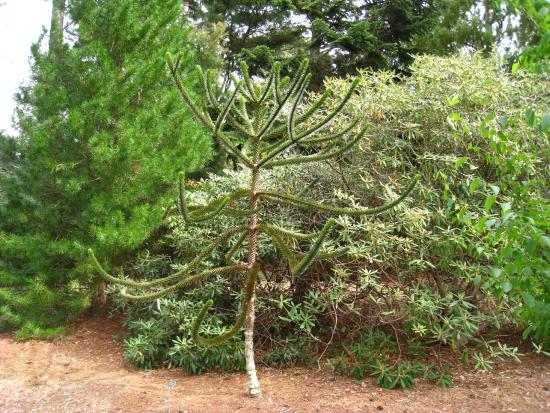 Polly Hill Arboretum: One of the monkey puzzle trees