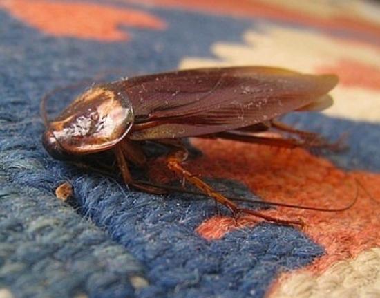 Days Inn Ruther Glen Kings Dominion Area: cockroach