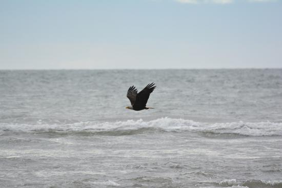 Anchor Point, AK: Bald eagle riding on waves