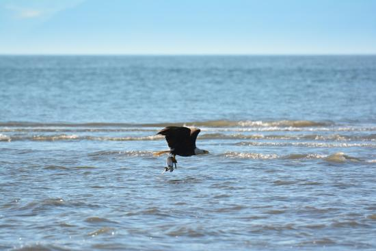 Anchor Point, AK: Bald eagle caught a prey