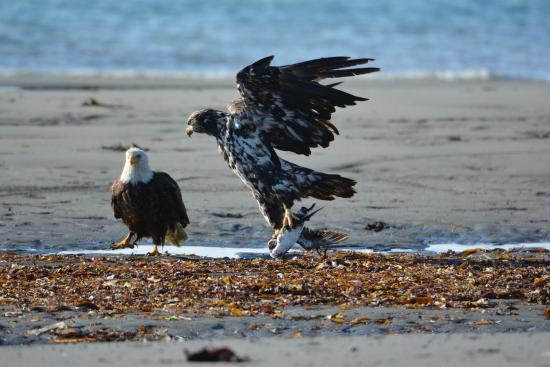 Anchor Point, AK: Sharing the meal with juvenile