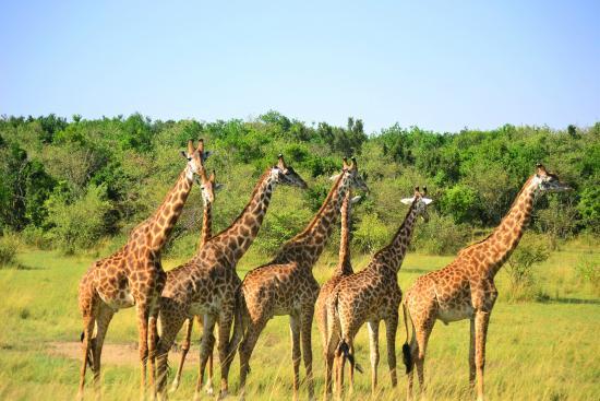 Mara Ngenche Safari Camp: The resident herd of giraffes just beside the camp