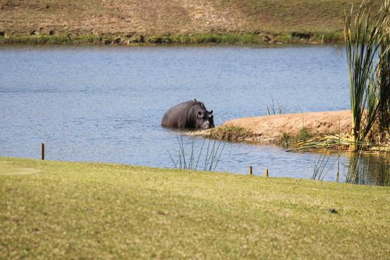 Skukuza Golf Course: hippos in the pond