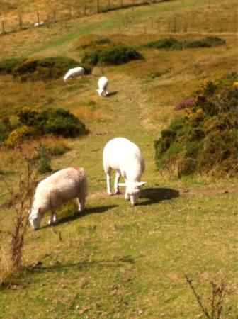 Moel Famau: Sheep grazing
