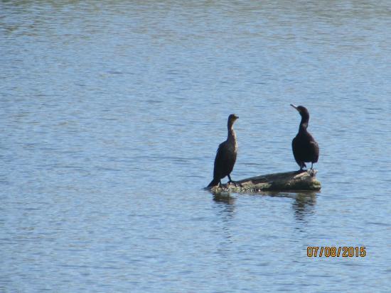 Bay City, Мичиган: Cormorants