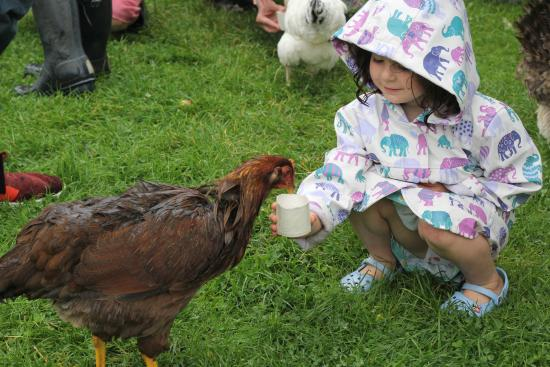 Tredethick Farm Cottages: feeding the chicken