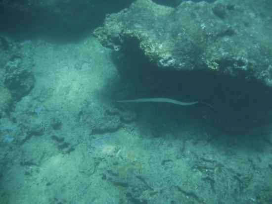 Trumpet or coronet fish picture of three tables dive for Plenty of fish oahu