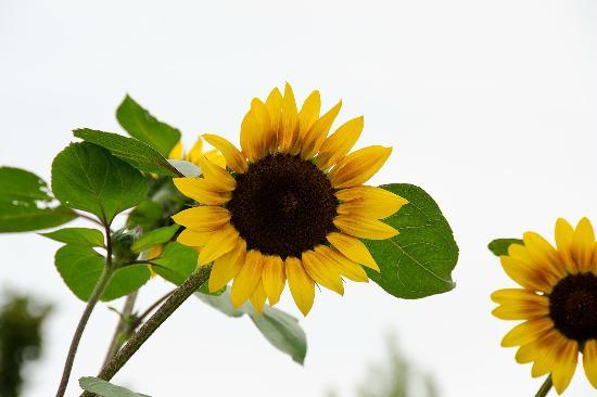 Vernon, Canada: Sunflowers