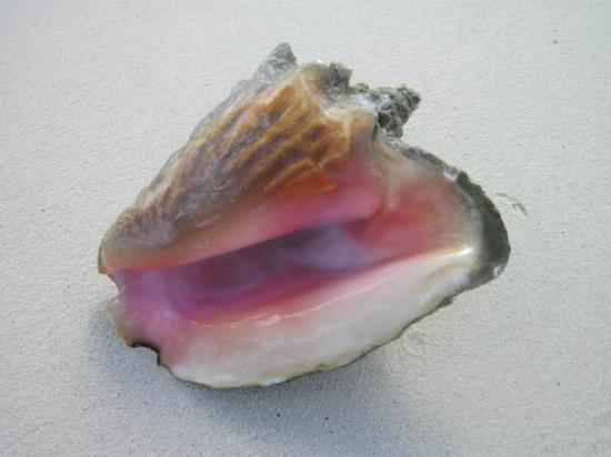 Bimini: Conch