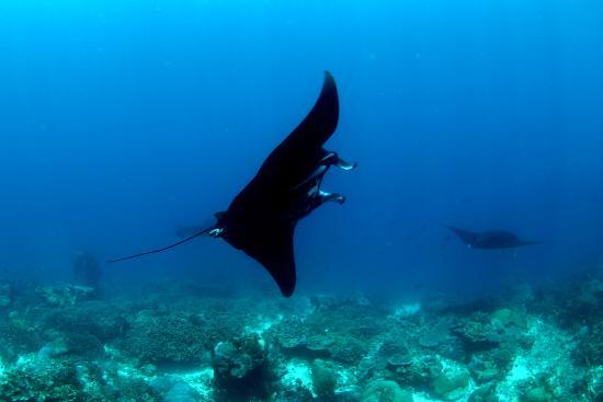 Mansuar Island, Indonesia: ブラックマンタ